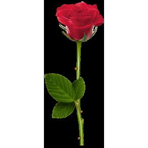 Популярные сорта роз!