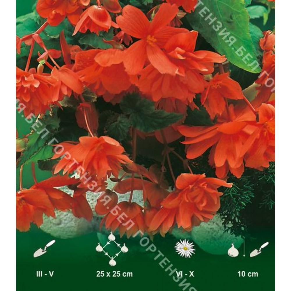 Бегония ампельная гигантская Оранжевая