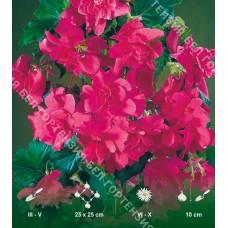 Бегония ампельная гигантская Розовая