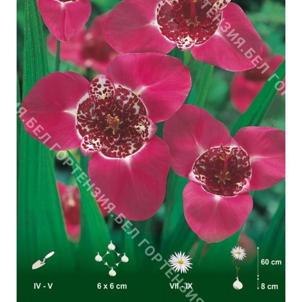 Тигридия розовая