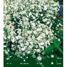 Гипсофила метельчатая Белая
