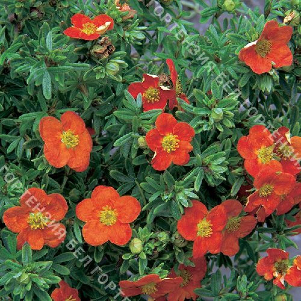 Лапчатка кустарниковая Ред Айс (горшок С2 - 2 л.)