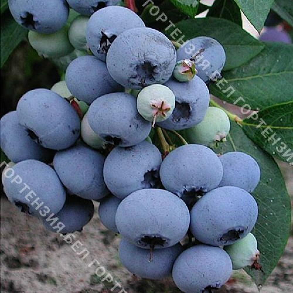 Голубика крупноплодная Блюголд (горшок Р9 - почтовый)