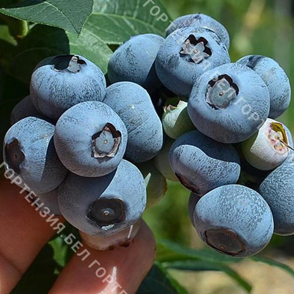 Голубика крупноплодная Нельсон (горшок Р9 - почтовый)