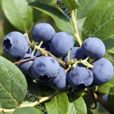 Голубика крупноплодная Блюкроп (горшок Р9 - почтовый)