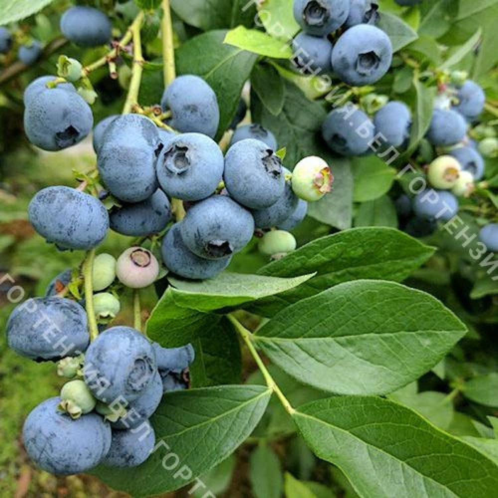 Голубика крупноплодная Патриот (горшок Р9 - почтовый)