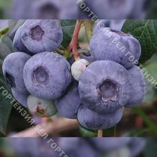 Голубика крупноплодная Сиерра (горшок Р9 - почтовый)