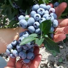 Голубика крупноплодная Ханнас Чойс (горшок Р9 - почтовый)