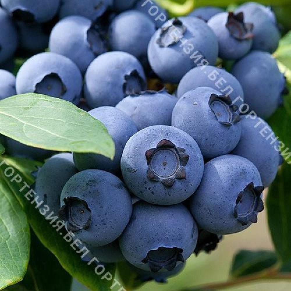 Голубика крупноплодная Эллиот (горшок Р9 - почтовый)