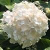 Гортензия крупнолистная Брайд (Невеста)