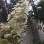 Гортензия метельчатая Киушу