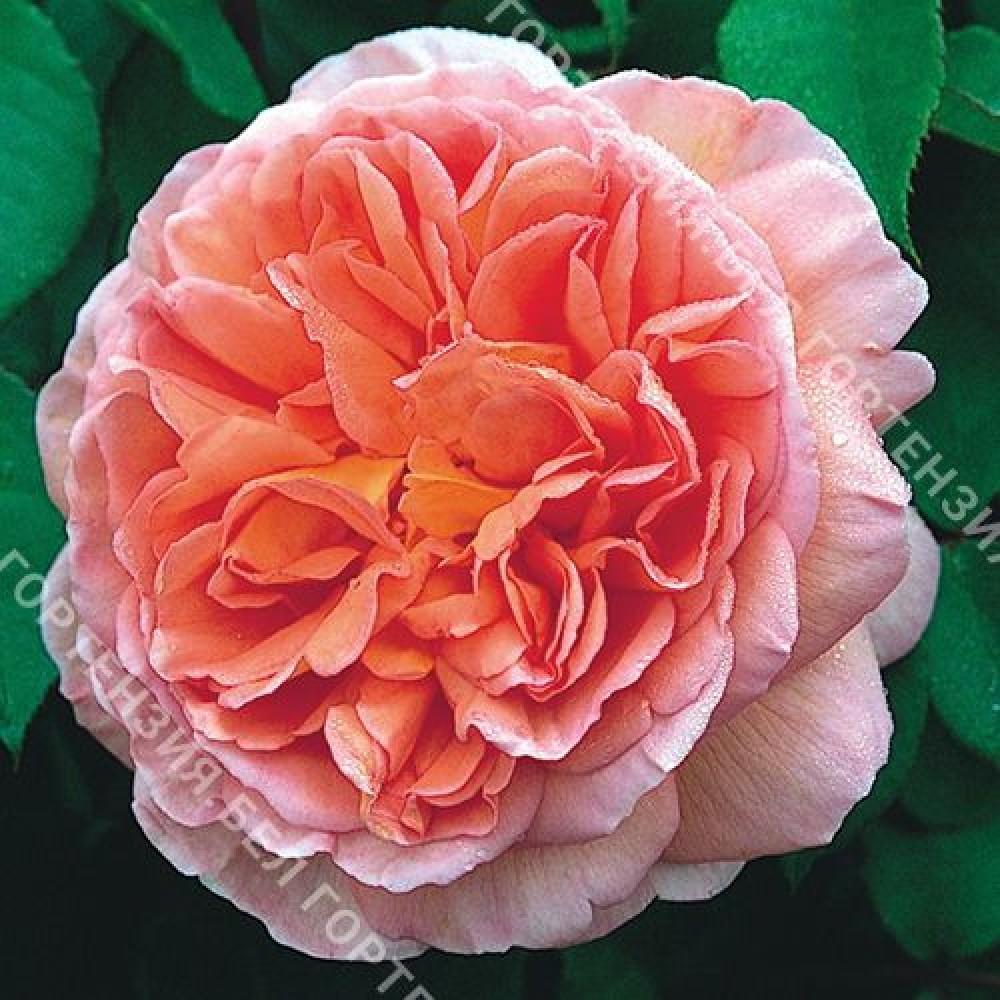 Роза Абрахам Дерби (горшок 10 л.)