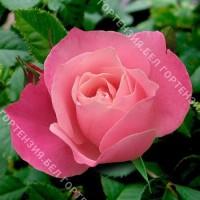 Роза Бел Анжи (горшок 5-6 л. высота 70-80 см.)