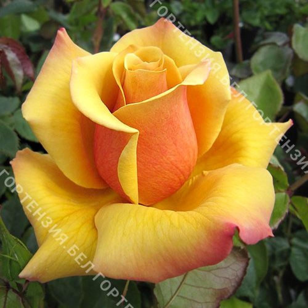 Роза Бель Эпог (горшок 5-6 л. высота 70-80 см.)