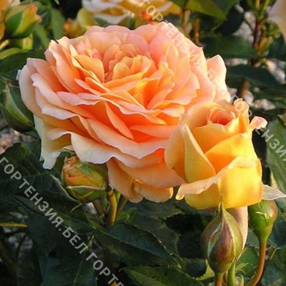 Роза Бернштайн Розе
