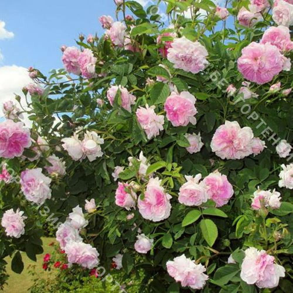 Роза Блаш Дамаск