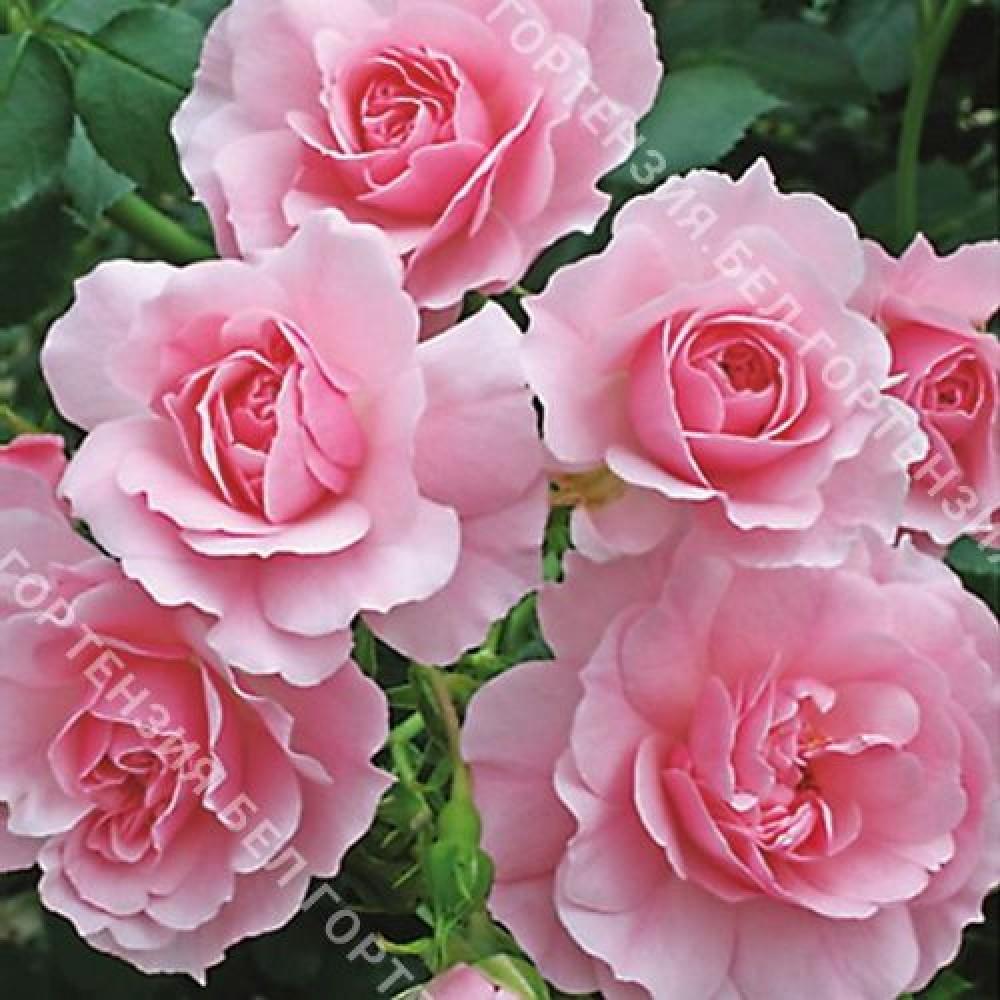 Роза Боника