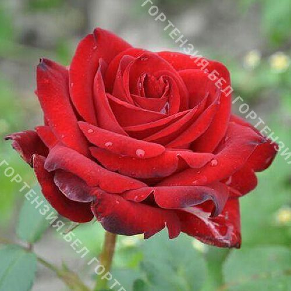 Роза Бранденбург