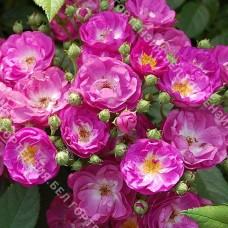 Роза Виолетт Худ