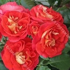 Роза Гебрюдер Гримм