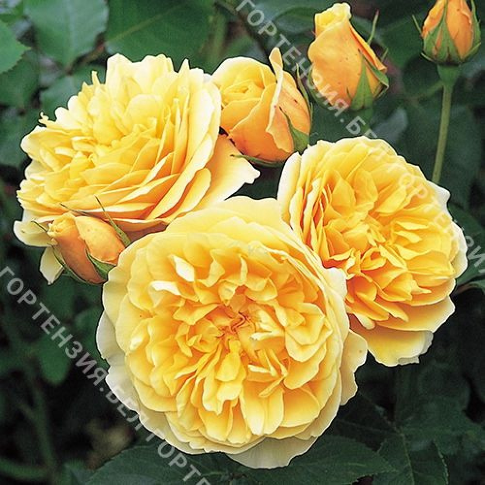 Роза Грехем Томас  (горшок 5-6 л. высота 70-80 см.)