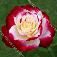 Роза Дабл Делайт  (горшок 5-6 л. высота 70-80 см.)