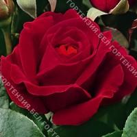 Роза Дам де Кюр  (горшок 5-6 л. высота 70-80 см.)
