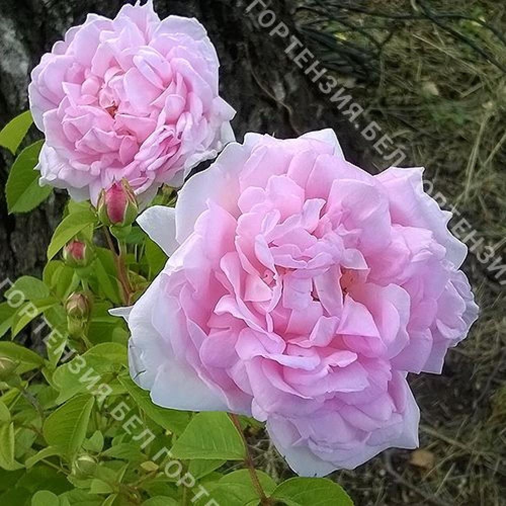 Роза Дюшес де Ангулем