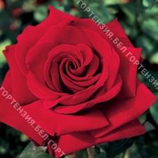 Роза Ингрид Бергман  (горшок 5-6 л. высота 70-80 см.)