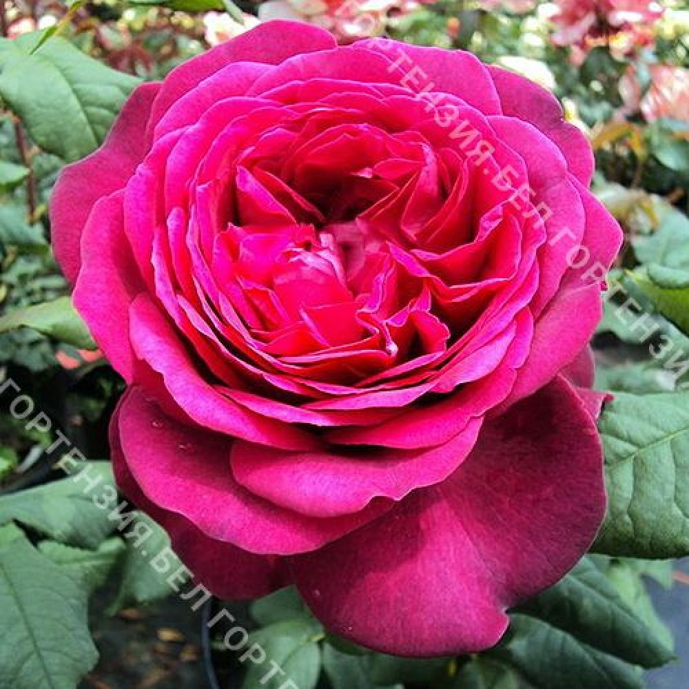Роза Иоганн Вольфганг фон Гёте