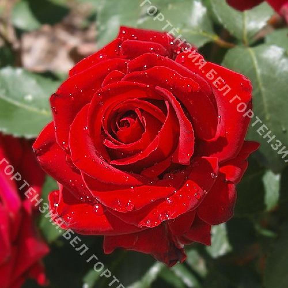 Роза Ирена