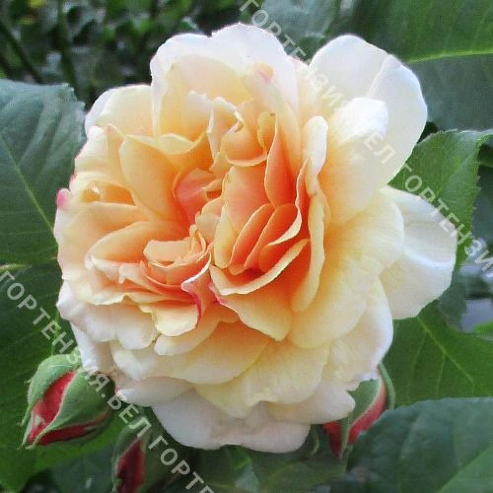 Роза Карамелла
