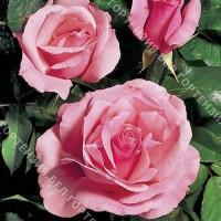 Роза Квин Элизабет  (горшок 5-6 л. высота 70-80 см.)
