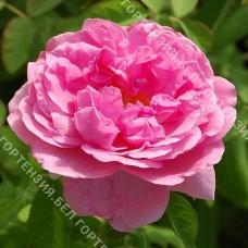 Роза Комте де Шамбо