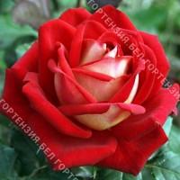 Роза Кроненбург  (горшок 5-6 л. высота 70-80 см.)