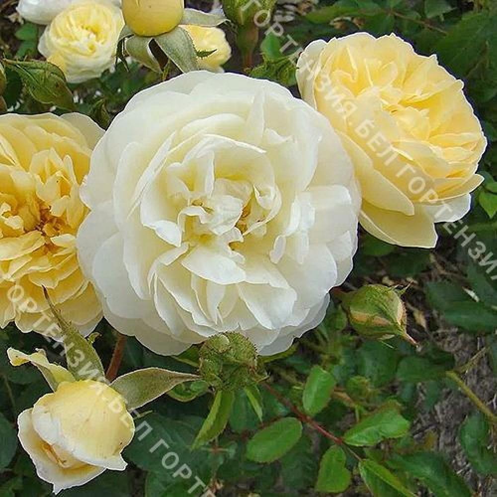 Роза Ла Фюильри