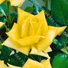 Роза Ландора горшок С6