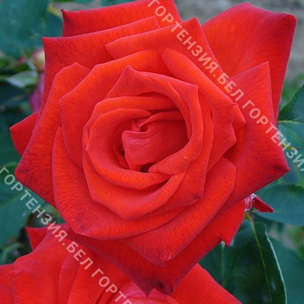 Роза Лидка  (горшок 5-6 л. высота 70-80 см.)