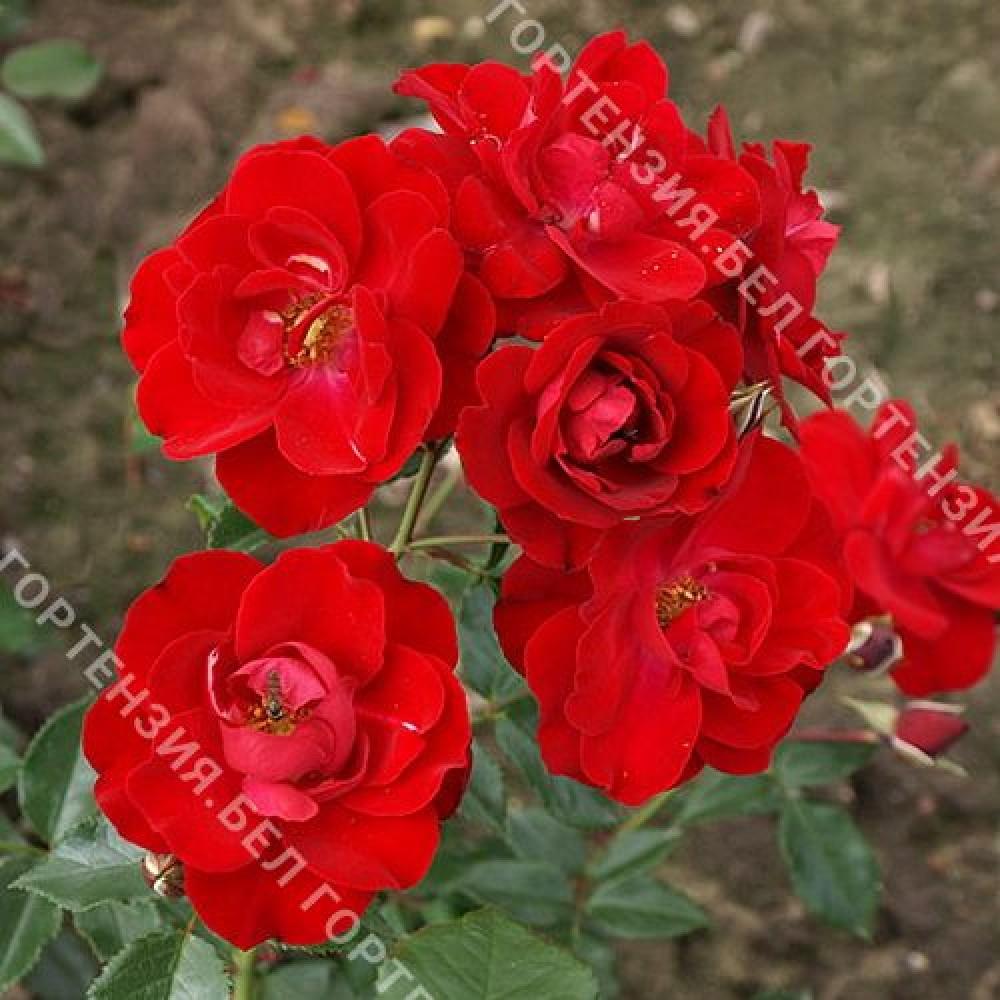 Роза Лихтерло