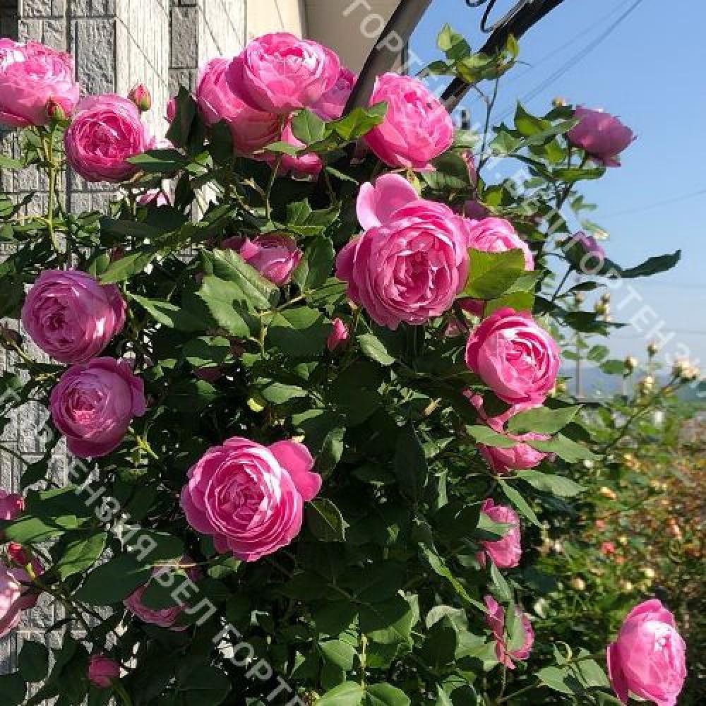 Роза Ля Рейн Виктория