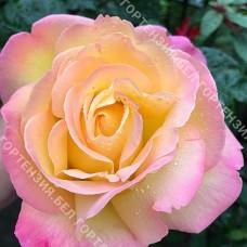 Роза Мадам Мейан (горшок 10 л.)