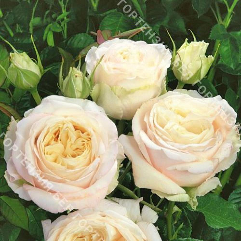Роза Май Гёл