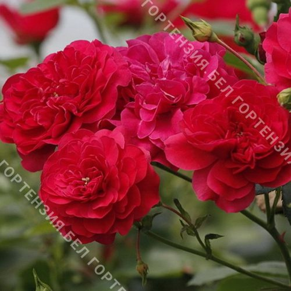 Роза Меркури 2000