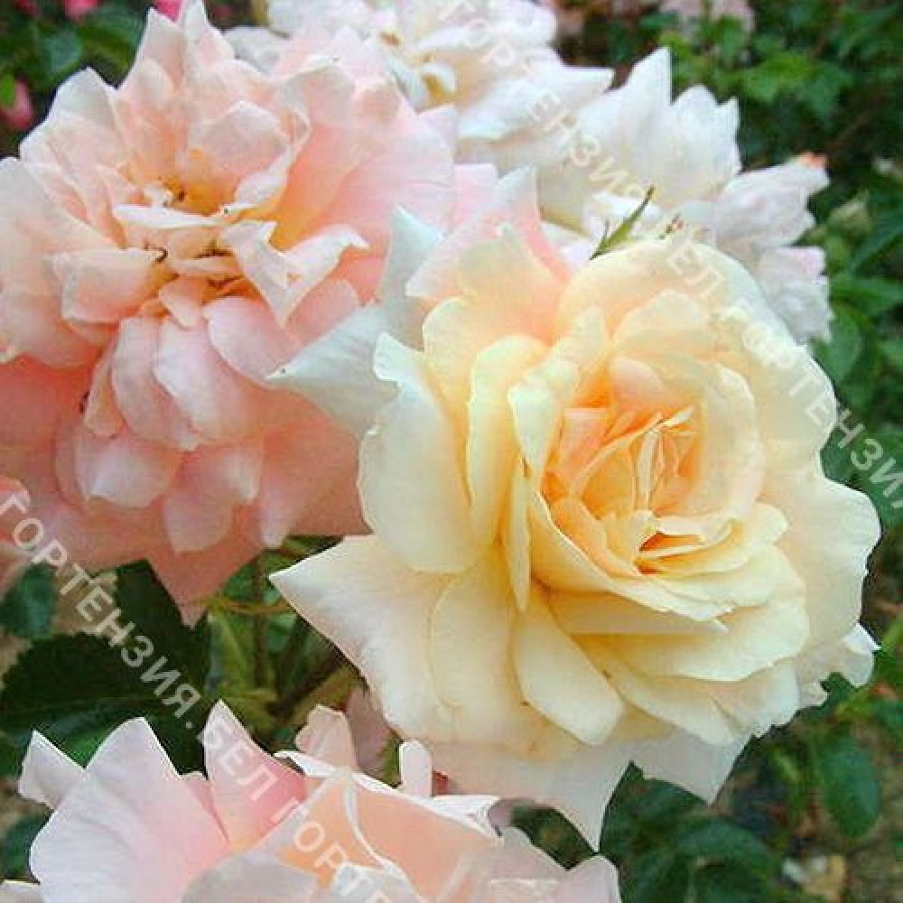 Роза Моргенгрюс