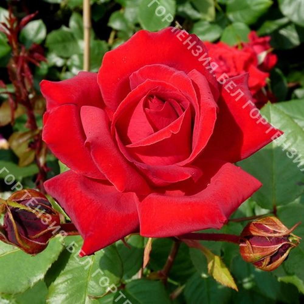 Роза Мусимара