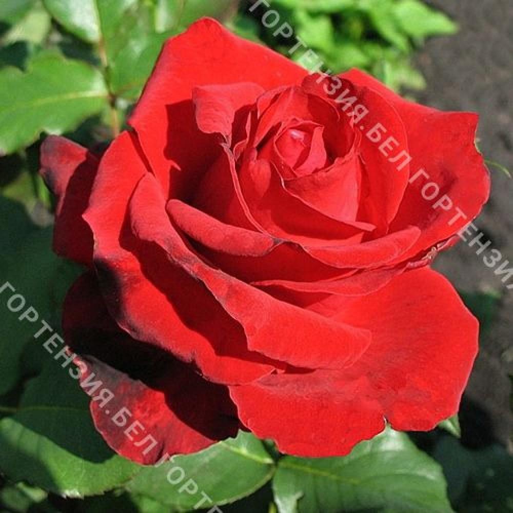 Роза Опиум