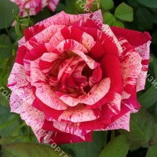 Роза Папагено  (горшок 5-6 л. высота 70-80 см.)