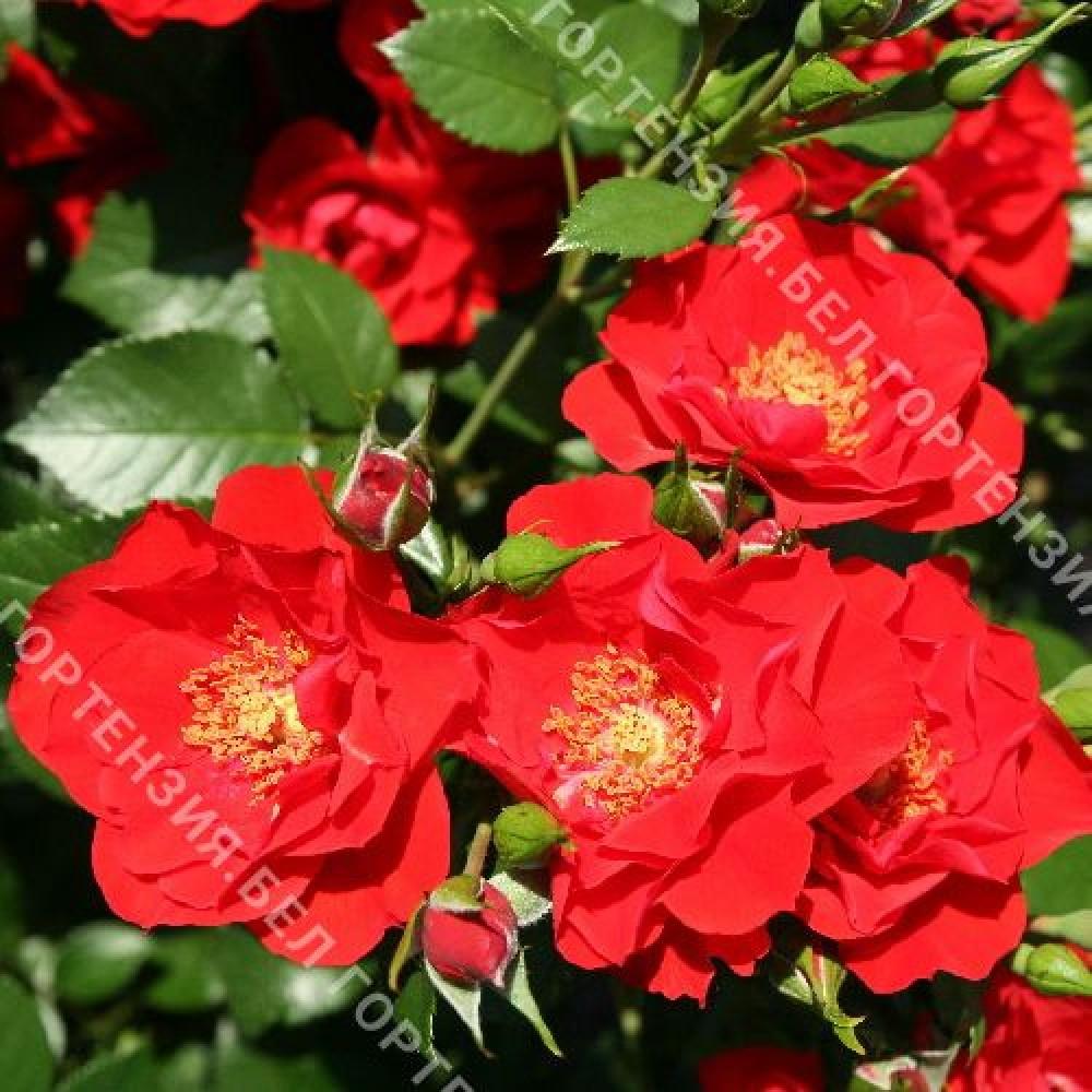 Роза Паприка