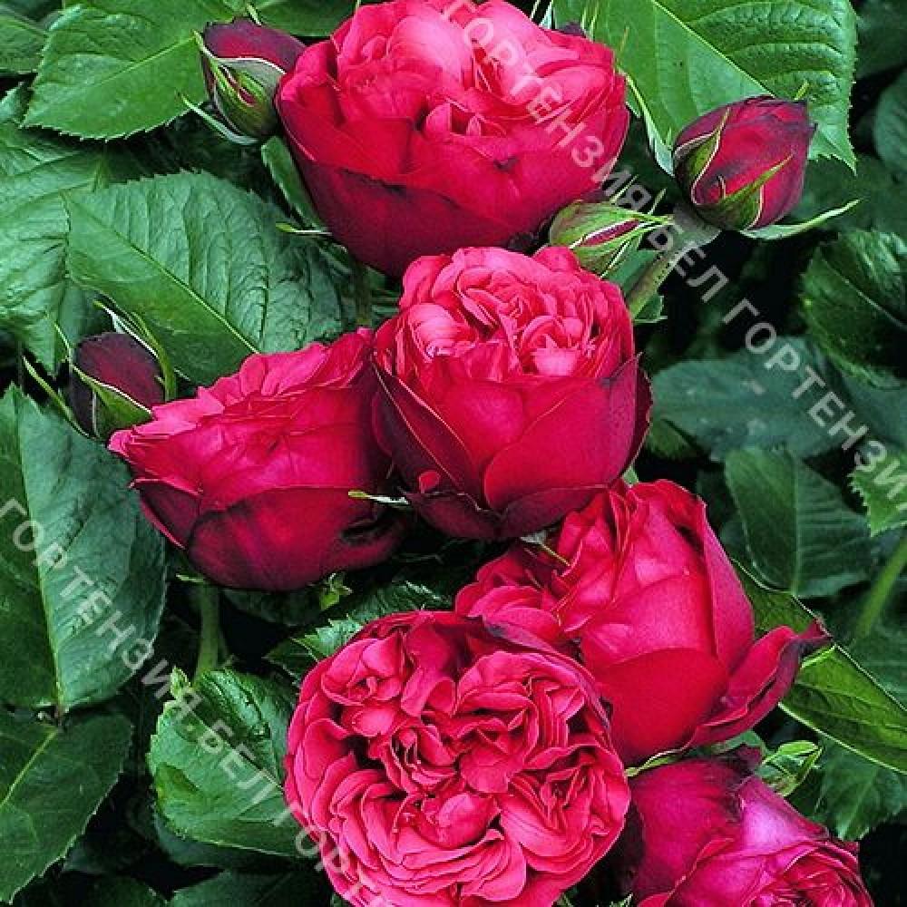 Роза Пиано  (горшок 5-6 л. высота 70-80 см.)