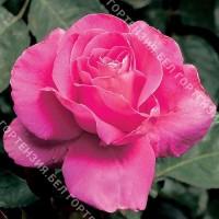 Роза Пинк Пис  (горшок 5-6 л. высота 70-80 см.)